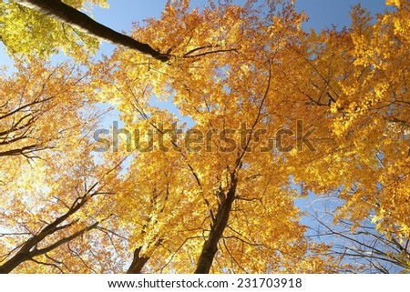 Autumn beech trees against the blue sky. - stock photo