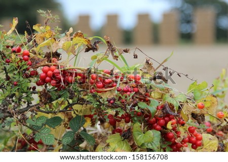 autumn berries in hedgerow in foreground with blurred haystacks in background - stock photo