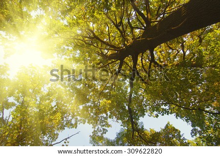 Autumn  big tree with  yellow leaves and sun shining, natural seasonal fall background - stock photo