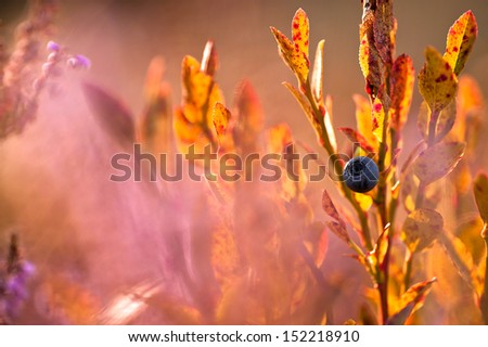 autumn bilberry amongst heather at sunset - stock photo