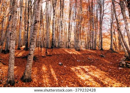 Autumn birch grove - stock photo