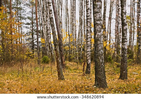 Autumn. Birch grove with yellow leaves