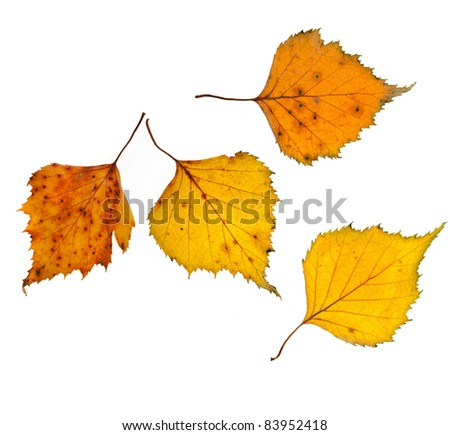 Autumn birch leaves isolated ont white background - stock photo