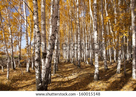 Autumn birches in the colourful Park