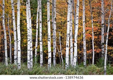 EEK! - Yellow Birch - eekwi.org