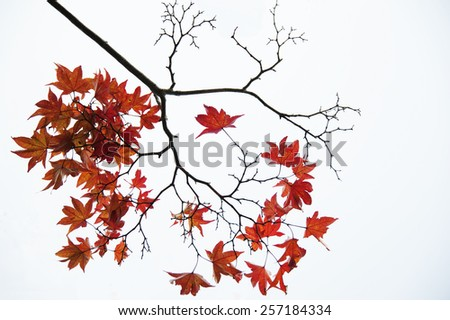 Autumn branch and leaves of a maple - stock photo