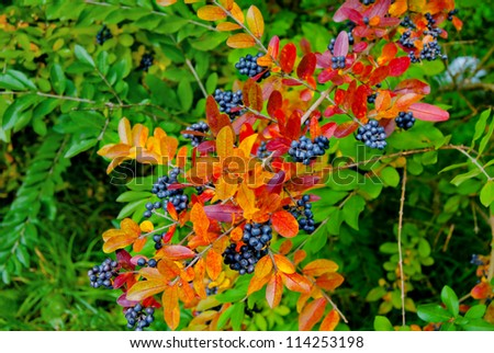 Autumn-branch-with-multicolored-leaves-and-dark-blue-berries-shallow-depth-of-field - stock photo
