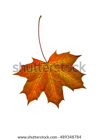 Autumn bright multi-colored maple leaf on a white background.