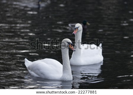 Autumn. City park. Swans pair in cold water - stock photo
