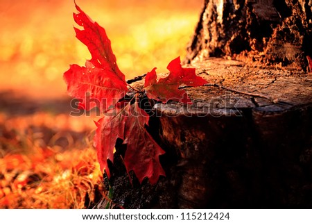 autumn close-up red forest leaf in sunset light - stock photo