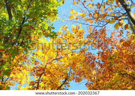 Autumn color beech forest