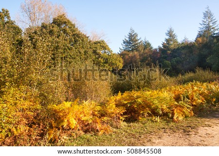Autumn colored brackens surmounted by pine trees