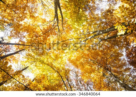 Autumn colorful beech trees forest with golden dried leaves - stock photo