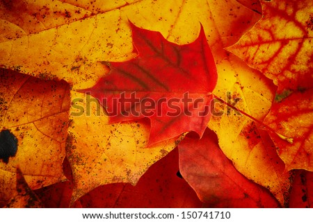Autumn  colorful leaves  of maple over wooden background  - stock photo