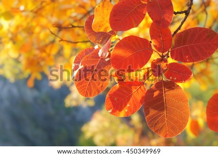 Autumn colorful  smoke branch with bright red leaf closeup on blurred background yellow foliage. Bright Sunny day in October.