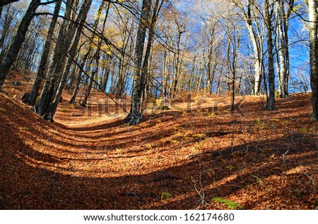 autumn colors - forest - brown fallen leaves - tree trunks -shadow lines - stock photo