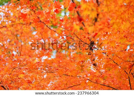 Autumn Colours in Japan/Beautiful autumn leaves