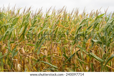 Autumn cornfield blowing in the wind - stock photo