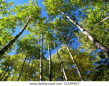 Autumn day in a wood. An aspen place. - stock photo