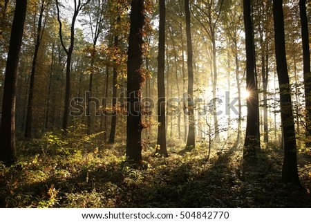 Autumn deciduous forest on a foggy morning.