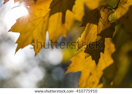 Autumn dry maple leafs - stock photo