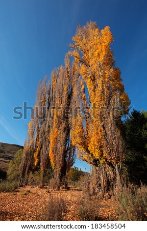 Autumn (fall) landscape with colorful poplar trees, South Africa - stock photo
