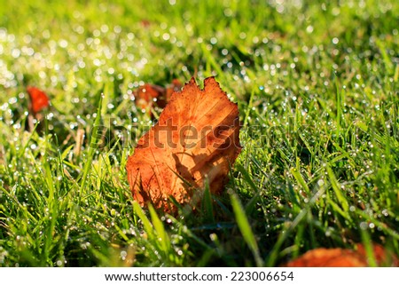 Autumn fall leaf, crisp orange and brown leaf naturally lying on fresh green grass with early Autumn morning dew sparkles - stock photo