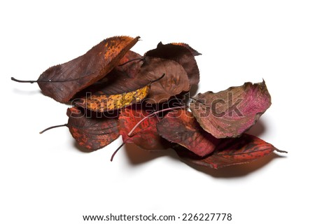 Autumn(fall) leaves, Many red  leaves isolated white. - stock photo