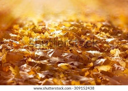 Autumn fallen leaves on ground Illuminated by sun rays - sunbeams - stock photo