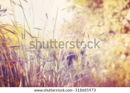 Autumn field grass on sunset light blurred nature background, toned