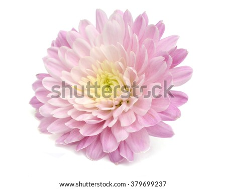Autumn flower: purple chrysanthemum isolated on white background