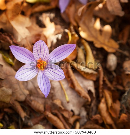 Autumn flowers (Colchicum autumnale L) on a background of dry red leaves