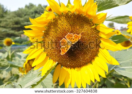Autumn flowers series, beautiful sunflowers and butterfly in field - stock photo