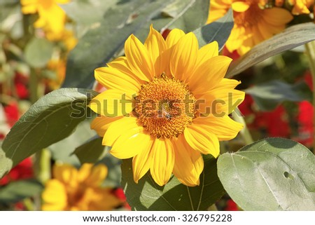 Autumn flowers series, beautiful sunflowers in field. - stock photo