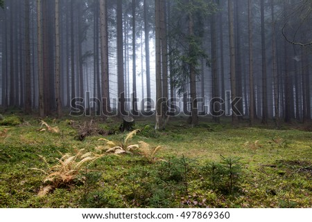 Autumn fog in the spruce forest
