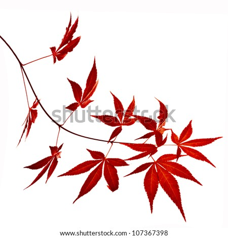 Autumn foliage , Japanese Red maple tree leaves  (Acer palmatum) Isolated on white background - stock photo