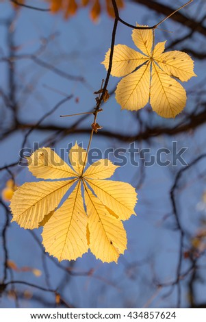 autumn foliage of chestnut against the sky - stock photo