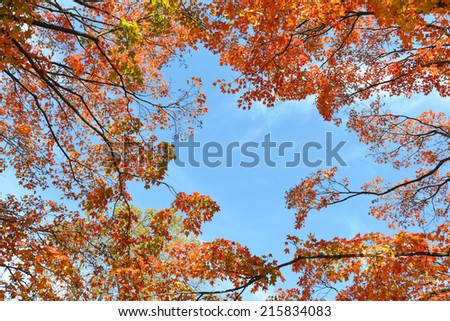 Autumn foliage of maple tree  leaves with blue sky background