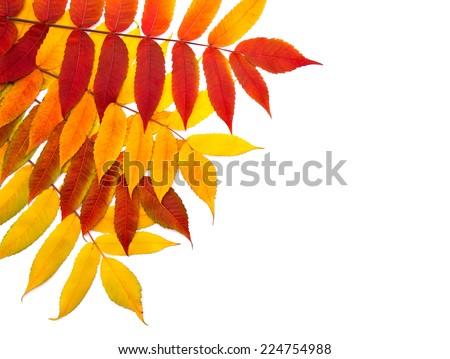 Autumn foliage of staghorn sumac (Rhus tuphina) on white background - stock photo