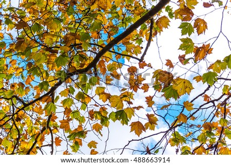 Autumn foliage of yellow and green Canadian maple leaves on blue sky on the background. Selective focus