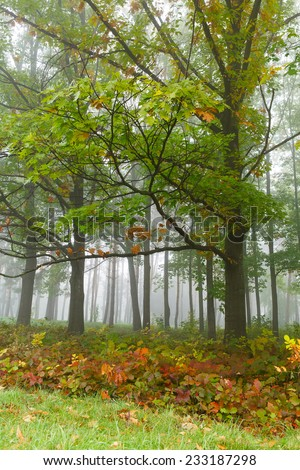 Autumn forest in the fog, trees