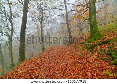 Autumn forest in the mist with autumn leafs on the ground. Belgium. Ardennes. Vresse sur Semois. - stock photo