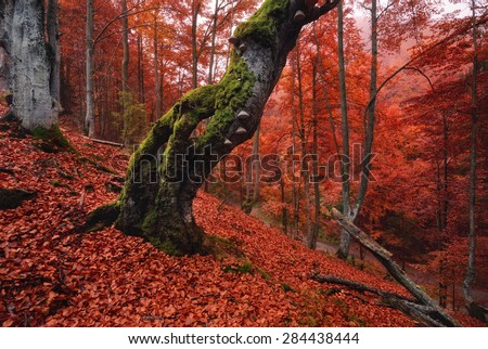 Autumn forest in the mountains. Old, moss-covered lonely tree standing on a slope, which is thickly strewn with red fallen leaves - stock photo