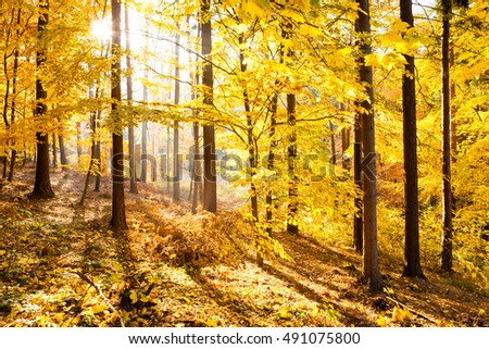 Autumn forest inspirational landscape. Fall scenery with yellow warm sunlight and sun in gold trees and woods.
