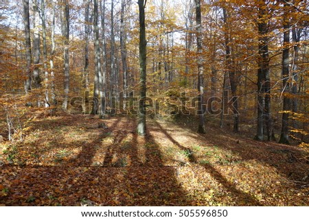Autumn forest. Transcarpathia
