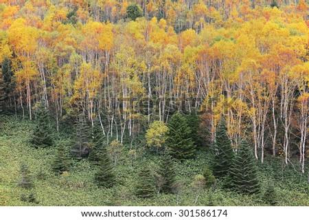 Autumn forest with orange and golden foliage on the hillside of Shiga Kogen (Shiga Highland) in Nagano, Japan - stock photo