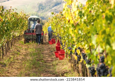 Autumn grape harvest in Tuscany, Italy - stock photo