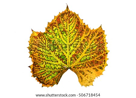 autumn grape vine plant leaf isolated over white