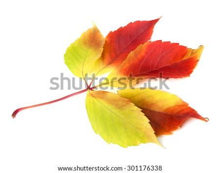 Autumn grapes leaf (Parthenocissus quinquefolia foliage). Isolated on white background. - stock photo