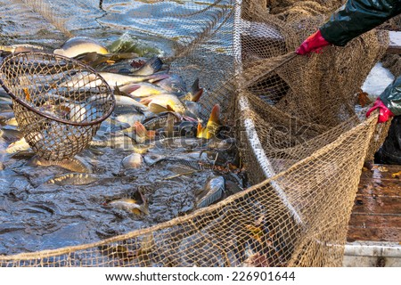 Autumn harvest of carps from fishpond to christmas markets in Czech republic. In Central Europe fish is a traditional part of a Christmas Eve dinner.